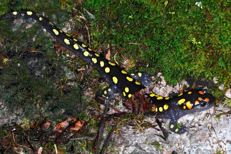 Spotted salamander. Photo by Don Scallen.
