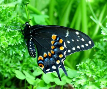 Black swallowtail, another pipevine swallowtail mimic. Photo by Don Scallen.