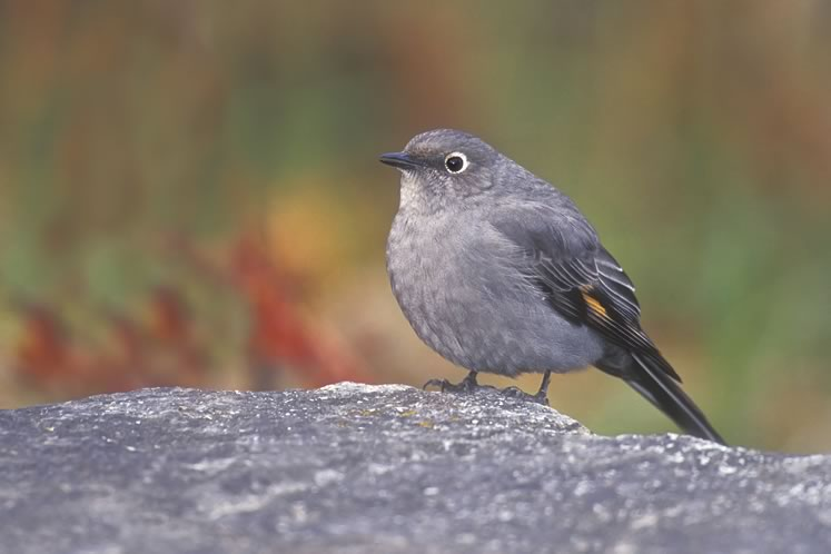 Townsend's solitaire. Photo by Robert McCaw.