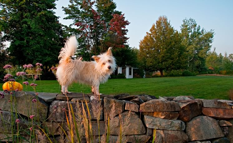 Misha's Portuguese podengo pequeno, Pip, appreciates the garden's stone wall as a lookout. Photo by Rosemary Hasner / Black Dog Creative Arts.