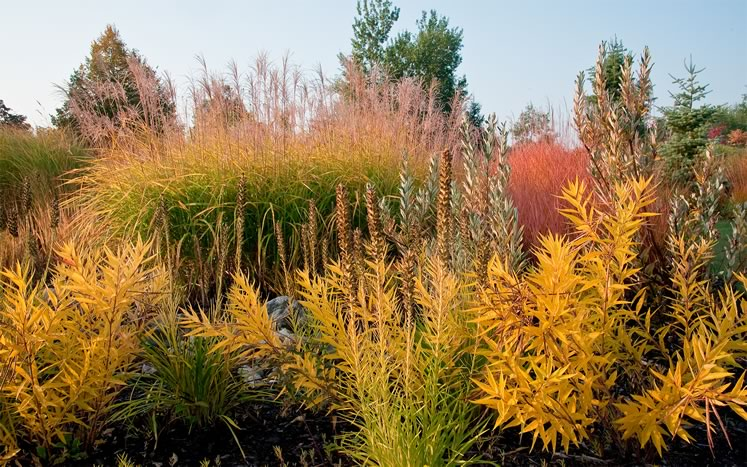 The brilliant yellow of Liatris spicata and Amsonia hubrechtii glow in the autumn sun. Photo by Rosemary Hasner / Black Dog Creative Arts.