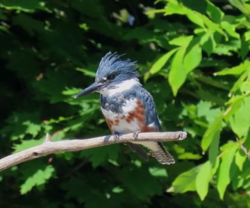 Kingfisher. Photo by Don Scallen.